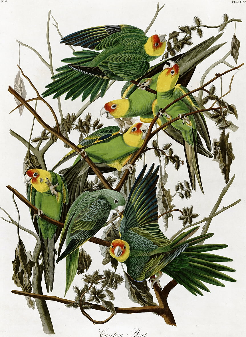 Parrocchetti Carolina di John James Audubon (1833) da John James Audubon