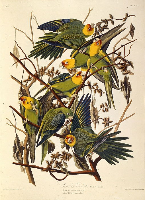 Il parrocchetto della Carolina, From The Birds of America, 1827-1838. da John James Audubon
