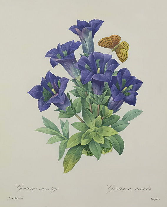 Gentiana acaulis (tromba genziana), incisa da Langlois, da &39;Choice of the Most Beautiful Flowers&39;, 1827 da Pierre Joseph Redouté